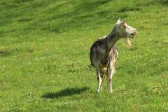 Bleats козы стоковое изображение rf