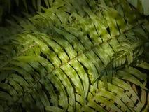 Blechnum fern Stock Image