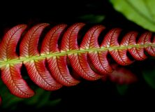 Blechnum NZ Fern. Royalty Free Stock Image