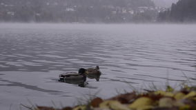 Bled lake. View of the village. Fog. Ducks. Lake Bled, Slovenia. View of the village. Autumn. Fog. Two ducks swim near the shore stock video