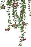 Bleeding glory-bower Flower Stock Image