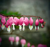 Bleeding Heart Royalty Free Stock Images