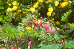 Bleeding heart. In garden setting Royalty Free Stock Image