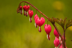 Bleeding heart. A beautiful flower, ideal for backgrounds, or postcards Stock Image