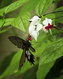 Bleeding Heart Butterfly. A large black butterfly feeds on the nectar produced in the red and white flowers of the Bleeding Heart Vine royalty free stock photo