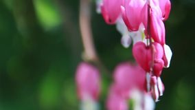 Bleeding heart Dicentra flowers close-up stock video
