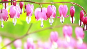 Bleeding heart Dicentra flowers close-up stock video footage