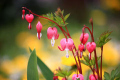Bleeding heart (Dicentra spectabilis) Stock Photos