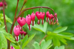 Bleeding Heart flower Royalty Free Stock Photo
