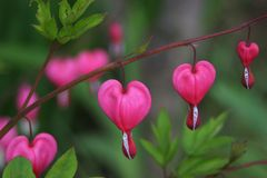 Bleeding heart flower. Dicentra spectabilis also known as Venus's car, bleeding heart, or lyre flower Royalty Free Stock Photo
