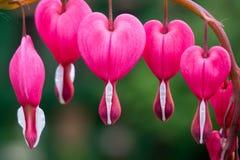 Free Bleeding Heart Flower Stock Photography - 58932612
