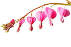 Bleeding Heart Flower Stock Photos