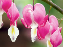 Bleeding Heart Flower Blossoms. Hang down from the  plant in this closeup Stock Images