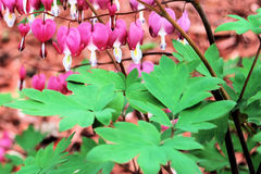 Bleeding Heart Flower Bush Stock Image