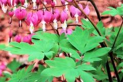 Bleeding Heart Flower Bush Stock Image