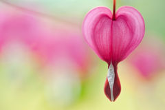 Bleeding Heart Flower. Close up of bleeding heart flower Stock Photography