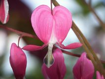 Bleeding heart flower close-up royalty free stock photos