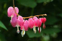 Bleeding Heart Flower Stock Image