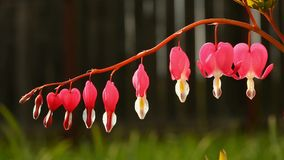 Bleeding heart flower. Bleeding heart cluster moving in wind (Dicentra spectabilis stock video footage