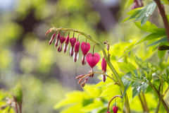 Bleeding Heart Flower Royalty Free Stock Photography