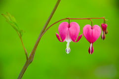 Bleeding heart flower - Dicentra spectabilis Royalty Free Stock Photo