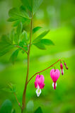 Bleeding heart flower - Dicentra spectabilis Stock Images