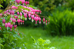 Bleeding heart flower (Dicentra Spectabils) lyre flower love hea Stock Photos