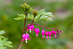 Bleeding Heart Flower in the Garden Stock Images