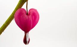 Bleeding heart flower Royalty Free Stock Images