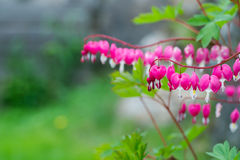 Bleeding Heart. Flower plant background royalty free stock images