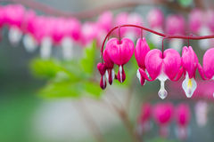 Bleeding Heart. Flower plant background copy space stock photos