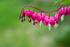 Bleeding Heart. Flower plant copy space royalty free stock photos
