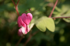 Bleeding heart flower postcard. Royalty Free Stock Photo