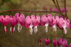 Bleeding Heart Flowers Royalty Free Stock Photography