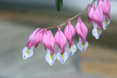Bleeding-heart flowers Stock Images