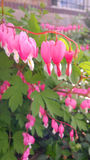 Bleeding Heart Flowers. Asiatic pink and white heart shaped flowers. Represent love, heartbreak, loss of a loved one, death, innocence, spring time Stock Photography
