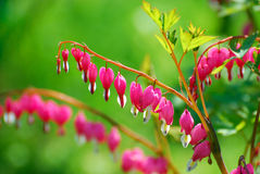 Bleeding Heart flowers ( Dicentra spectabilis) Stock Photos