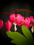 Bleeding heart flowers (Dicentra Spectabils) lyre flower love he Stock Photo