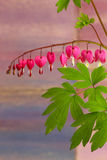 Bleeding heart flowers (Dicentra Spectabils) lyre flower love he. Art on purple pink blured background Stock Image