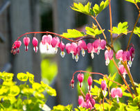 Bleeding Heart Flowers In Garden. Pink and white bleeding heart flowers in sunny garden.  Blurred wooden fence is in the background Stock Photos