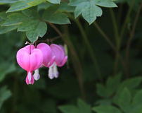 Bleeding Heart Flowers Macro with leaves Royalty Free Stock Photos