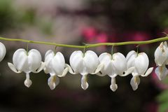 Bleeding Heart Flowers Royalty Free Stock Photos