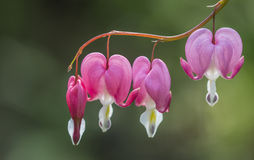 Bleeding heart flowers Stock Images