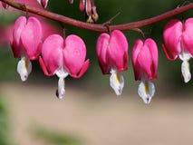 Bleeding Heart Flowers Royalty Free Stock Image