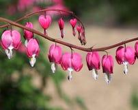 Bleeding Heart Flowers Stock Photo