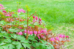 Bleeding heart flowers  in spring garden. Royalty Free Stock Photography