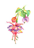 Bleeding Heart Fuchsia Watercolor. Hanging Bleeding Heart Fuchsia with leaves watercolor painting Royalty Free Stock Photography
