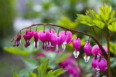 Bleeding heart (Lamprocapnos spectabilis) Royalty Free Stock Image