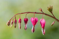 Bleeding heart Lamprocapnos spectabilis flowers Stock Photos