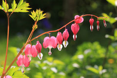Bleeding heart, perennial herb in the garden Stock Image